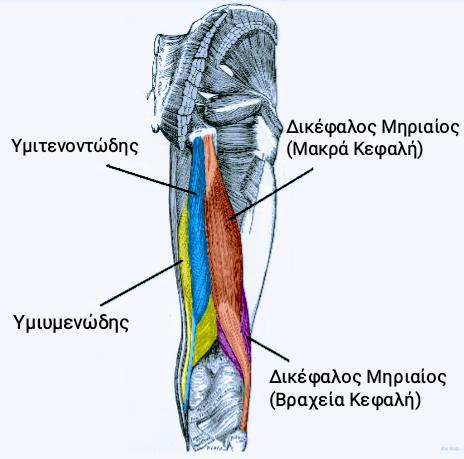 Θλάση οπίσθιων μηριαίων (Hamstring strain) Πρόληψη και αποκατάσταση Φυσικοθεραπεία Γέρακα | Your-Physio